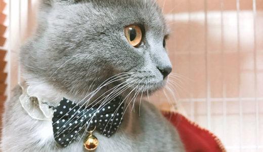 【猫記念日】ブリティッシュショートヘア生後6ヶ月ハーフバースデーの体重は?