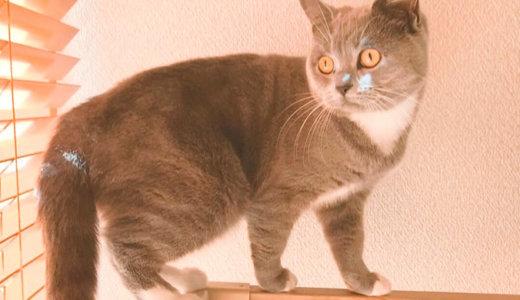 【猫記念日】ブリティッシュショートヘア生後7ヶ月の体重は?