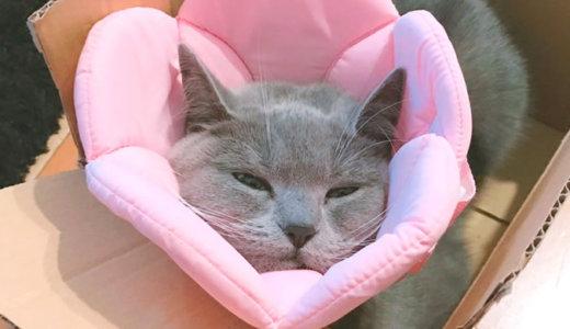【猫の避妊手術後6日目】服じゃなくエリザベスカラーが正解だった!?|ブリティッシュショートヘア