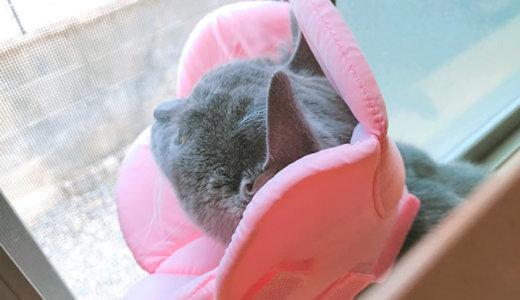 【猫の避妊手術後3日目】安静期間はいつまで?|ブリティッシュショートヘア