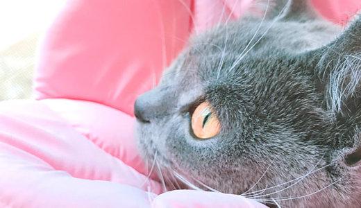 【猫記念日】ブリティッシュショートヘア生後9ヶ月の体重は?
