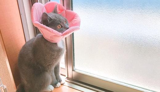 【猫の避妊手術後8日目】トイレの失敗が再び|ブリティッシュショートヘア