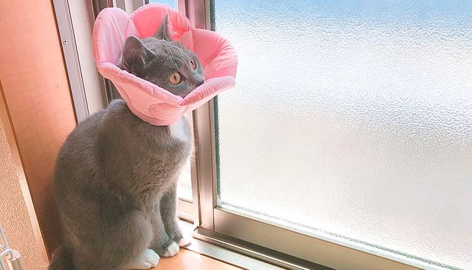 ブリティッシュショートヘア 避妊手術後 8日目