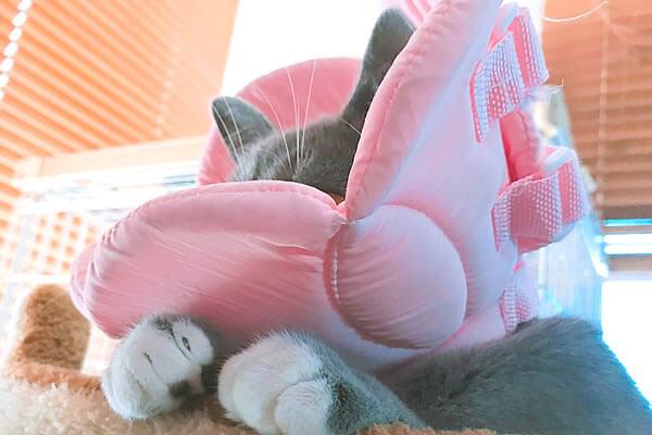 猫 避妊手術後 トイレ失敗