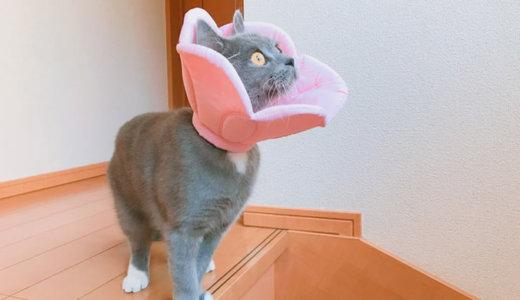 【猫の避妊手術後12日目】完全に回復で階段ダッシュも余裕|ブリティッシュショートヘア