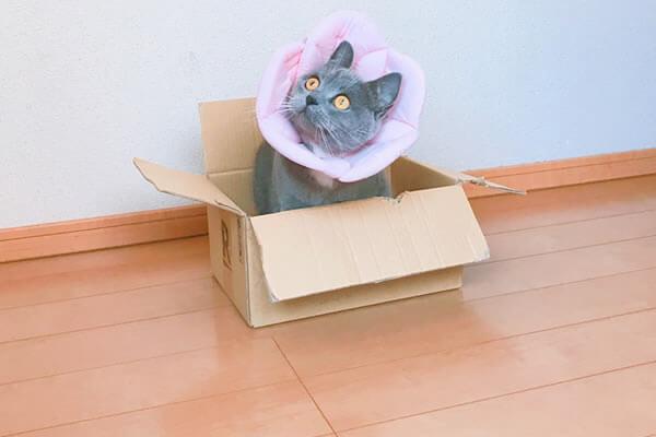 猫 避妊手術後 ダンボールが好き