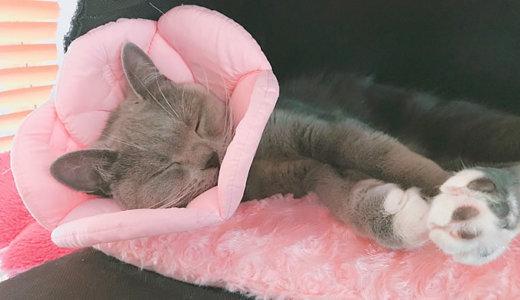 【猫の避妊手術後15日目】抜糸にかかる時間や日数は|ブリティッシュショートヘア