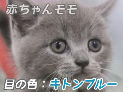 ブリティッシュショートヘア目の色 キトンブルー