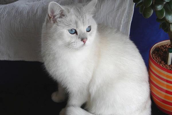 ブリティッシュショートヘア目の色 ブルー
