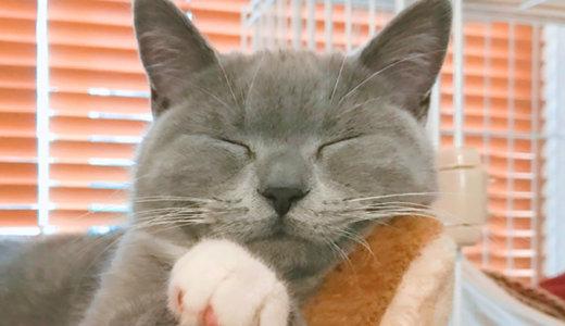 【猫記念日】ブリティッシュショートヘア生後5ヶ月の体重は?