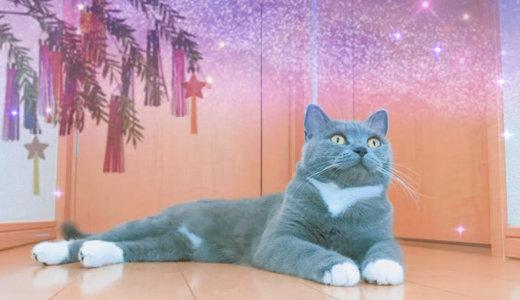 七夕飾りに夢中なモモ猫 ブリティッシュショートヘア