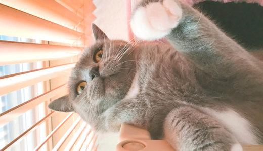 ブラッシングを嫌がる猫の巻|ブリティッシュショートヘア