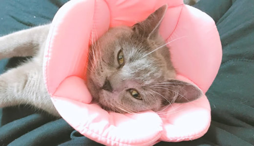 【猫の避妊手術後7日目】令和の奇跡!性格が変わるのは本当だった?|ブリティッシュショートヘア