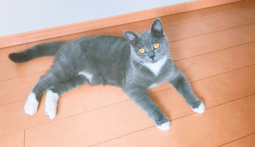 100均で猫のプラスチックベッドが買える!?|ブリティッシュショートヘア