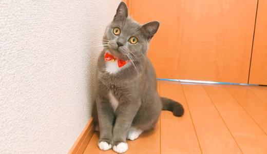 【猫記念日】1歳になりました!ブリティッシュショートヘアの体重は?