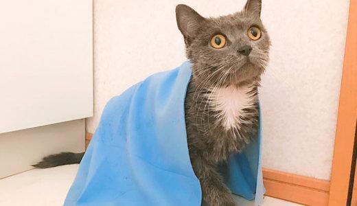 「猫はお風呂を嫌がる」はウソ!?|ブリティッシュショートヘア