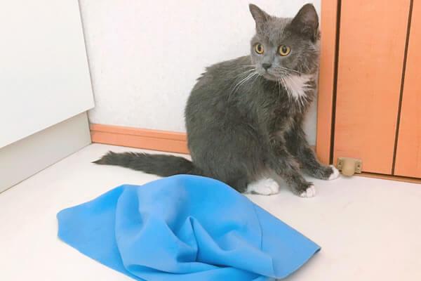 猫 お風呂 ブリティッシュショートヘア