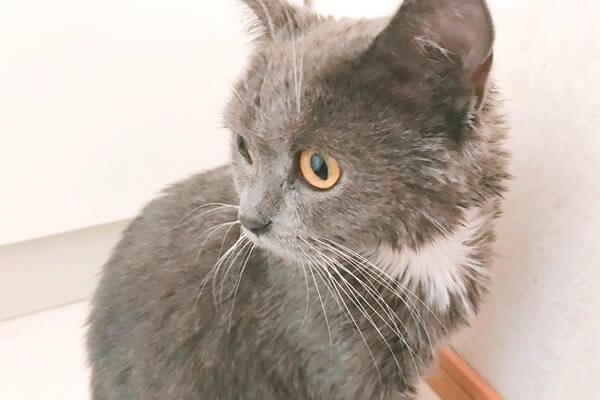 猫 お風呂 吸水タオル ブリティッシュショートヘア