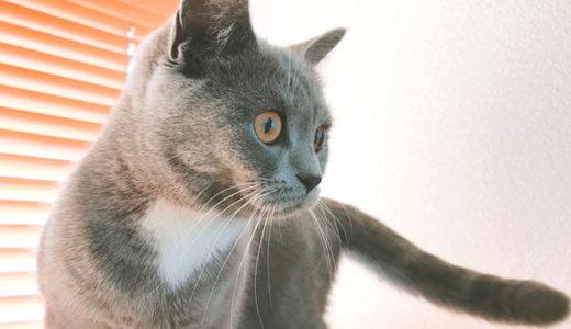 【猫記念日】ブリティッシュショートヘア生後8ヶ月の体重は?