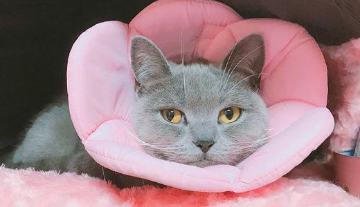 【猫の避妊手術後4日目】甘えてくる性格になった説が浮上|ブリティッシュショートヘア