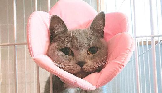 【猫の避妊手術後5日目】トイレの失敗で大変なことに…|エリザベスカラー比較