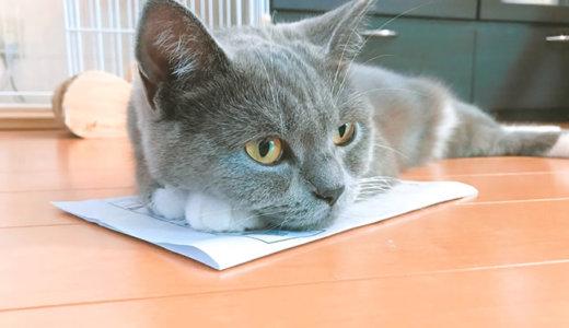 猫は紙の上が大好き|ブリティッシュショートヘア