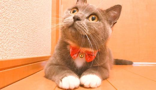 【猫記念日】ブリティッシュショートヘア1歳1ヶ月の体重は?