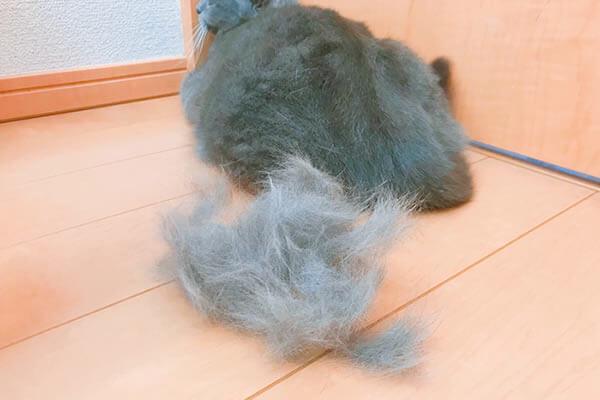 猫換毛期の抜け毛は多い