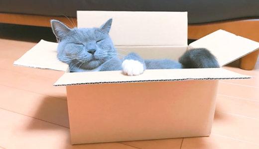 かわいい箱入り猫の完成です|ブリティッシュショートヘア