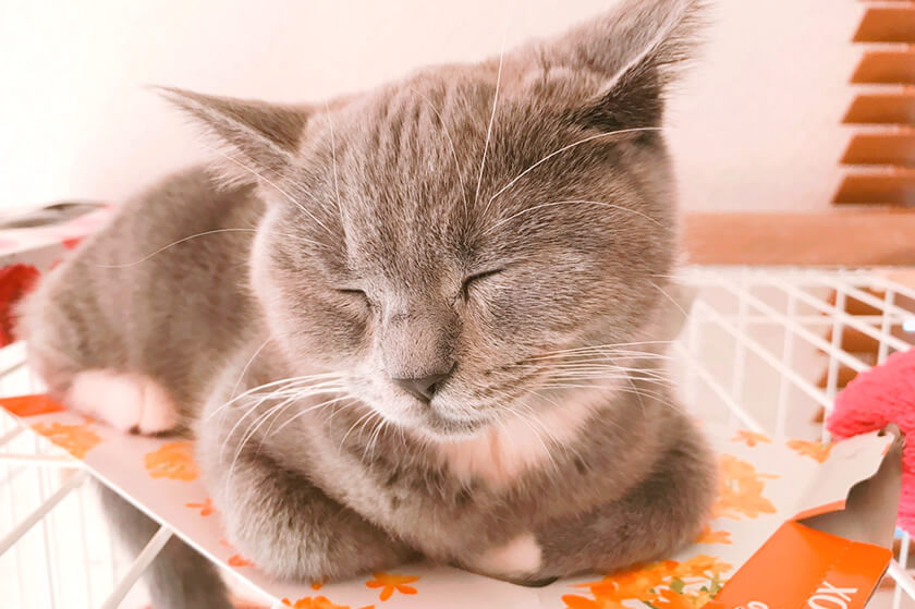 猫の香箱座りブリティッシュショートヘア