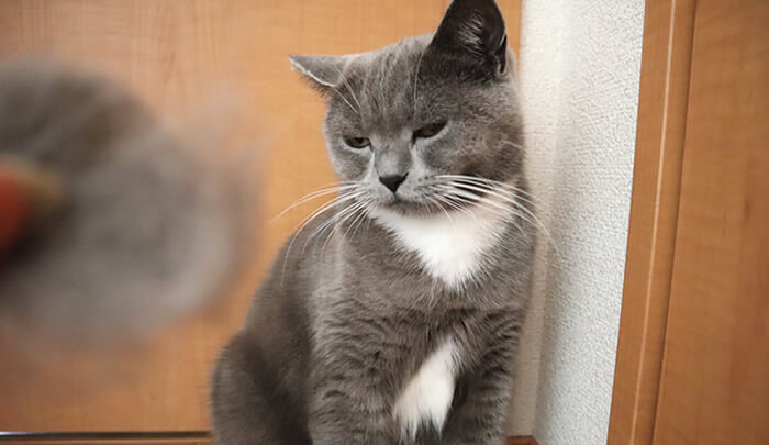 ファーミネーターで抜けた抜け毛を嫌がる猫