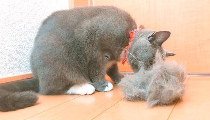 ブリティッシュショートヘアの抜け毛は多い