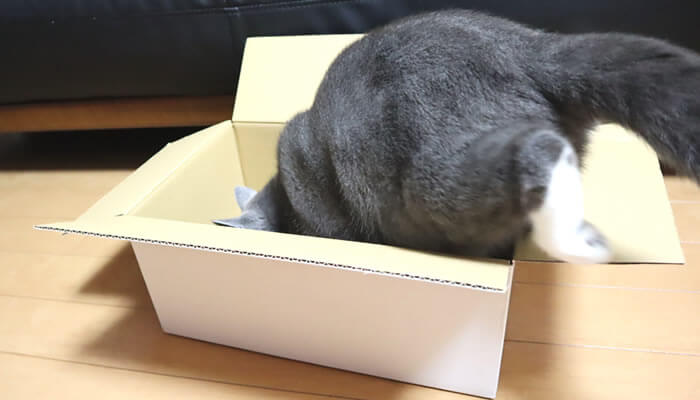 箱に入ってみる猫