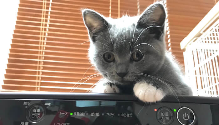 空気清浄機の上に乗るブリティッシュショートヘアの子猫