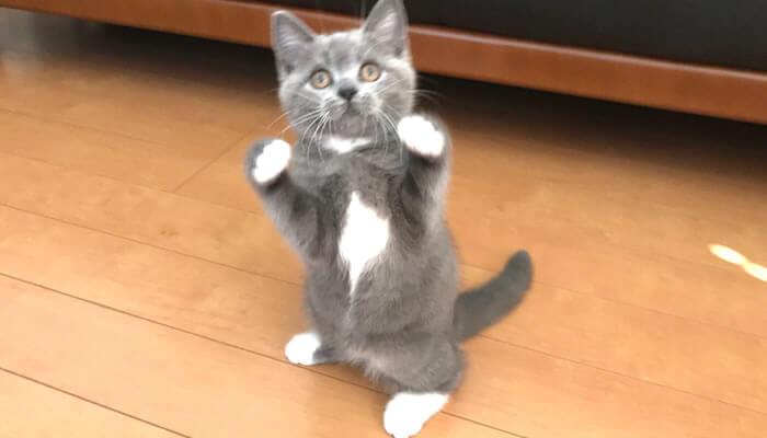 ファイティングポーズをするブリティッシュショートヘアの子猫