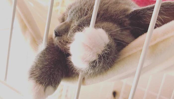 ケージのハンモックで寝るブリティッシュショートヘアの子猫