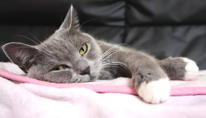 お気に入りの毛布でくつろぐ猫
