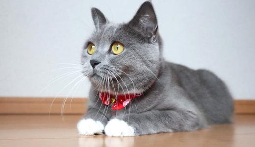【猫記念日】ブリティッシュショートヘア1歳3ヶ月の体重は?