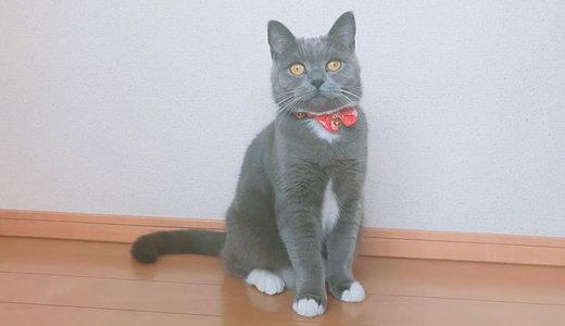 【ツンデレ】猫年齢の1歳2ヶ月は人間に換算すると18歳!思春期女子の最近の様子