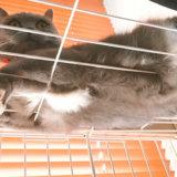 ケージの上で寛ぐ猫 お腹の毛がモフモフ