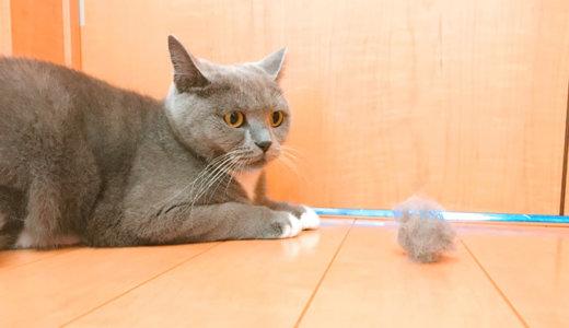 ファーミネーターで抜けた毛玉を怖がる猫|ブリティッシュショートヘア