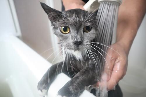 猫のシャンプーすすぎ洗い流し