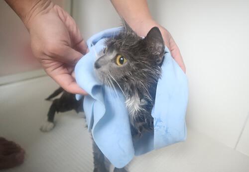 猫のシャンプー タオルドライ