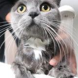 猫のお風呂・シャンプーの入れ方