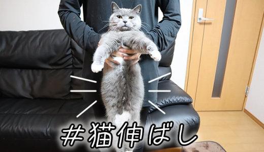 猫伸ばしでお腹のぽっちゃりがばれたブリティッシュショートヘア