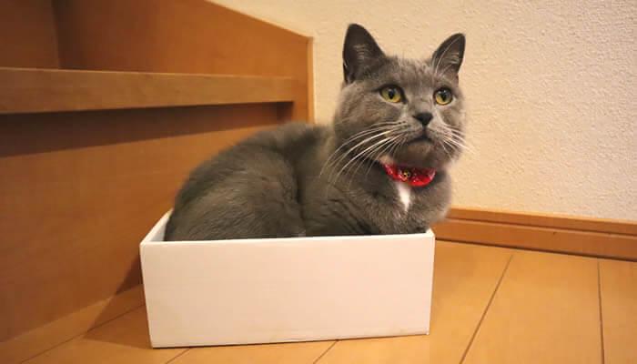 箱好きな猫