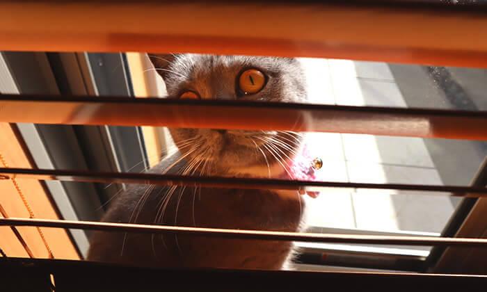ブラインドの隙間から覗く猫