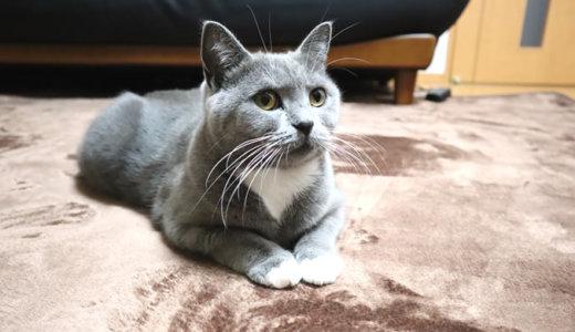 猫アレルギーの我が家にカーペットを敷いてみるチャレンジ!?