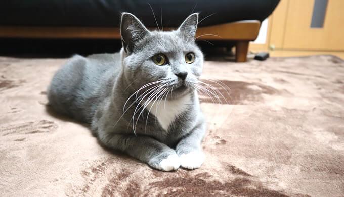 カーペットに座る猫