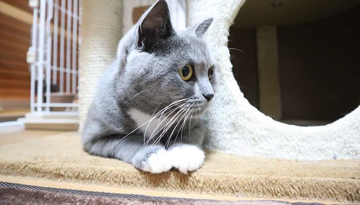 キャットタワーから様子をみる猫